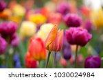 orange tulip on a multicolor... | Shutterstock . vector #1030024984