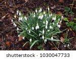 snowdrops in spring   galanthus  | Shutterstock . vector #1030047733