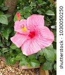 closeup of pink hibiscus flower ... | Shutterstock . vector #1030050250