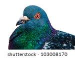 Pigeon Close Up Portrait...