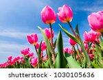 Beautiful Tulips On Blue Sky...