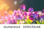 Group Of Colorful Tulip. Purpl...
