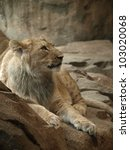 Male Lion Cub Lounging On A...