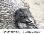 Close Up Portrait Of An Emu...