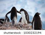 penguin colony  danco island ...   Shutterstock . vector #1030232194