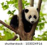 Stock photo giant panda baby over the tree 103024916