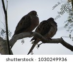Mourning Doves  Zenaida...