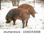 meat breed of pigs duroc. pigs... | Shutterstock . vector #1030253008