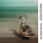 juvenile wood duck   Shutterstock . vector #1030253584