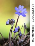Anemone Americana Hepatica...
