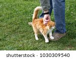 Small photo of The man is stroking (caress) a red cat on a green lawn.