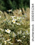 Japanese Anemone  Thimbleweed ...