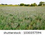 Field Of Alfalfa. Haymaking...