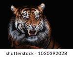 sumatran tiger  panthera tigris ... | Shutterstock . vector #1030392028