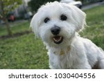 cute maltese dog utside. | Shutterstock . vector #1030404556