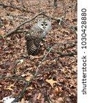 juvenile barred owl   Shutterstock . vector #1030428880