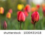 red tulips with fringed petals... | Shutterstock . vector #1030431418