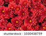 brightly blooming red asters... | Shutterstock . vector #1030438759