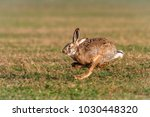 Stock photo the european hare lepus europaeus in sprint except for central and sound europe lives mostly in 1030448320