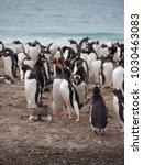 a pair of gentoo penguins... | Shutterstock . vector #1030463083