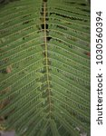 Small photo of Caesalpinia pulcherrima Green Leaves