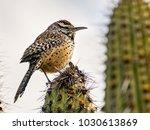 Cactus Wren In A Saguaro Cactus
