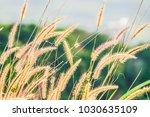 close up of pink reeds grass...   Shutterstock . vector #1030635109