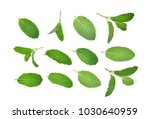 fresh mint leaf isolated on... | Shutterstock . vector #1030640959