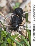 mating darkling beetles. close