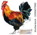 marans rooster. poultry farming.... | Shutterstock . vector #1030657000