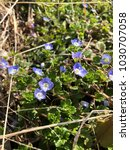 Small photo of Veronica persica of small wildflowers in spring