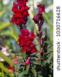 Small photo of Stunning flowers of deep cerise pink snap dragon Antirrhinum majus blooming in mid spring add interesting old cottage garden charm to a front garden bed mixed with other annuals.