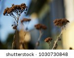 Small photo of Dry Ammi flowers in the garden in Winter season Selective focus.