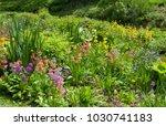 candelabra primroses  primula... | Shutterstock . vector #1030741183