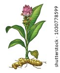 turmeric botanical hand drawing ... | Shutterstock .eps vector #1030778599