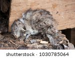 the dead rat lies on the wood | Shutterstock . vector #1030785064
