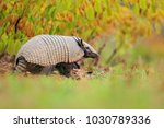 six banded armadillo  yellow... | Shutterstock . vector #1030789336