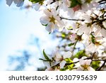 branches with almond blossoms... | Shutterstock . vector #1030795639