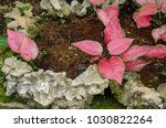 fancy leaved caladium  caladium ... | Shutterstock . vector #1030822264