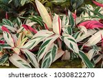 Small photo of Stromanthe sanguinea plant (Alpinia Tricolor)
