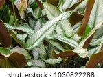 green and white leaf of... | Shutterstock . vector #1030822288