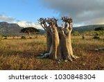 endemic plant flowering bottle... | Shutterstock . vector #1030848304
