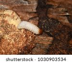 Small photo of Closeup on Rhagium larvae decomposer feeding on rotten wood