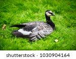 barnacle goose in the wild in... | Shutterstock . vector #1030904164