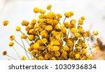 santolina chamaecyparissus also ...   Shutterstock . vector #1030936834