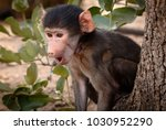 young chacma baboon sitting in... | Shutterstock . vector #1030952290