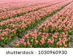 flower fields in holland....   Shutterstock . vector #1030960930