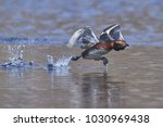 slavonian grebe  podiceps... | Shutterstock . vector #1030969438