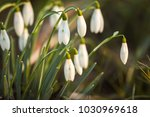 snowdrop spring flowers.... | Shutterstock . vector #1030969618