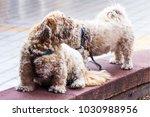 two amusing shaggy little dogs   Shutterstock . vector #1030988956